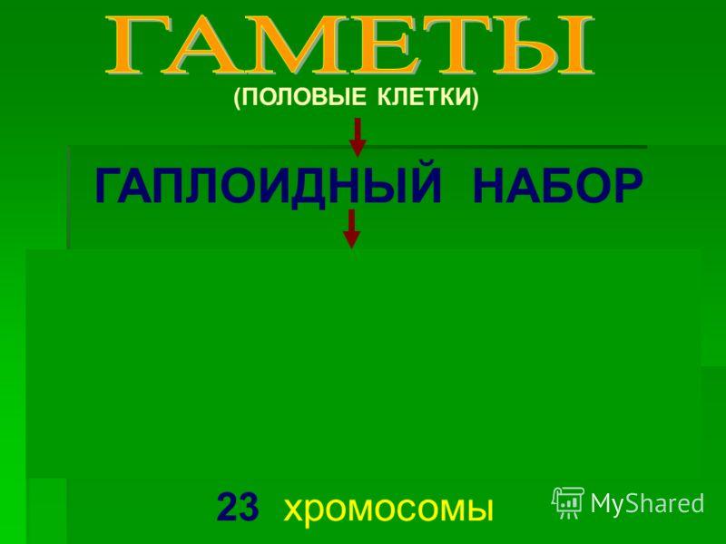 ГАПЛОИДНЫЙ НАБОР (ПОЛОВЫЕ КЛЕТКИ) 23 хромосомы 1 2 3 4 5 6 7 8 9 10 11 12 13 14 15 16 17 18 19 20 21 22 23