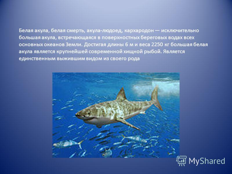 Белая акула, белая смерть, акула-людоед, кархародон исключительно большая акула, встречающаяся в поверхностных береговых водах всех основных океанов Земли. Достигая длины 6 м и веса 2250 кг большая белая акула является крупнейшей современной хищной р