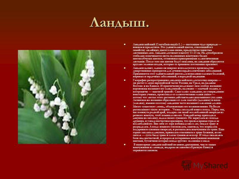 Ландыш. Ландыш майский (Convallaria majalis L.) настоящее чудо природы нежное и прелестное. Это удивительный цветок, относящийся к семейству лилейных, цветет в мае-июне, предпочитая тенистые лиственные леса. Ландыш достигает в высоту 15-25 см. На дуг