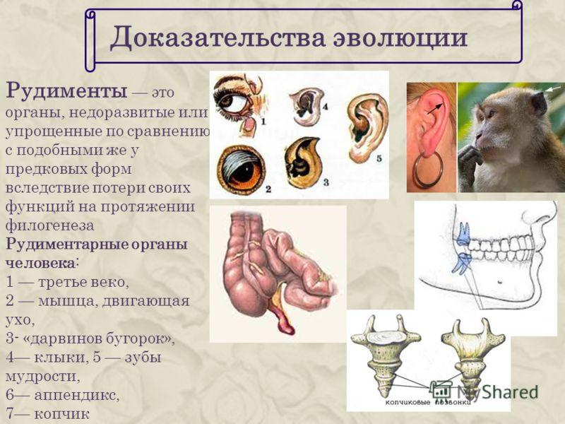 Доказательства эволюции Рудименты это органы, недоразвитые или упрощенные по сравнению с подобными же у предковых форм вследствие потери своих функций на протяжении филогенеза Рудиментарные органы человека: 1 третье веко, 2 мышца, двигающая ухо, 3- «