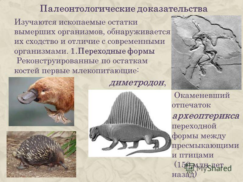 Изучаются ископаемые остатки вымерших организмов, обнаруживается их сходство и отличие с современными организмами. 1.Переходные формы Реконструированные по остаткам костей первые млекопитающие: Палеонтологические доказательства диметродон, Окаменевши