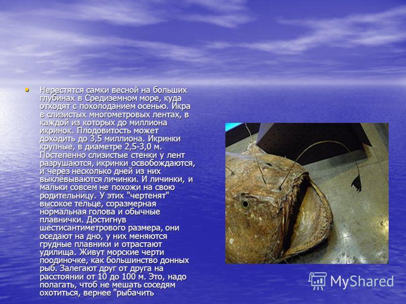 Нерестятся самки весной на больших глубинах в Средиземном море, куда отходят с похолоданием осенью. Икра в слизистых многометровых лентах, в каждой из которых до миллиона икринок. Плодовитость может доходить до 3,5 миллиона. Икринки крупные, в диамет