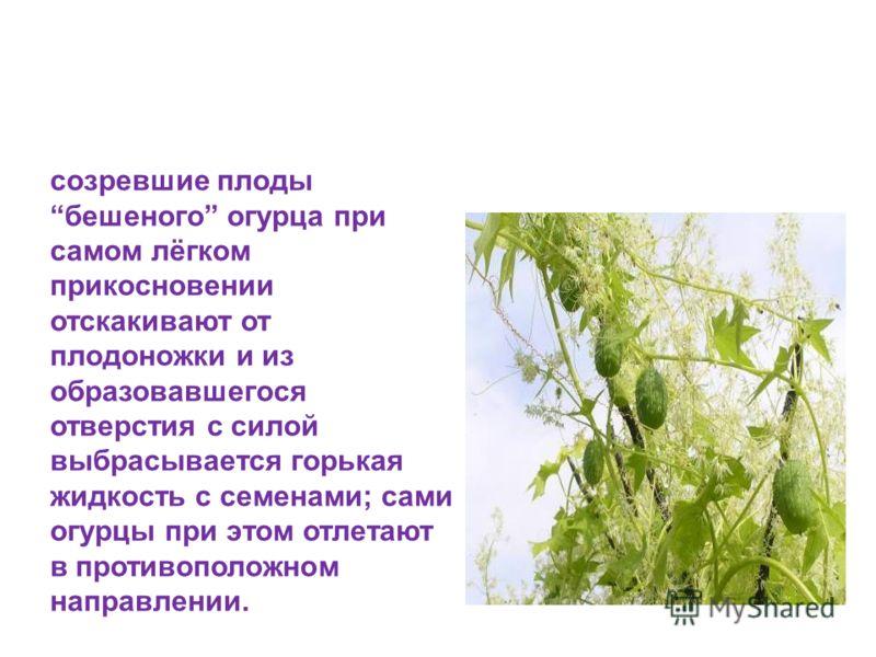 Реактивное движение в растительном мире созревшие плоды бешеного огурца при самом лёгком прикосновении отскакивают от плодоножки и из образовавшегося отверстия с силой выбрасывается горькая жидкость с семенами; сами огурцы при этом отлетают в противо