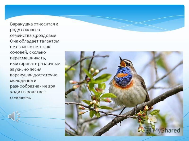 Центральный совет Союза охраны птиц России назвал варакушку птицей 2012 года