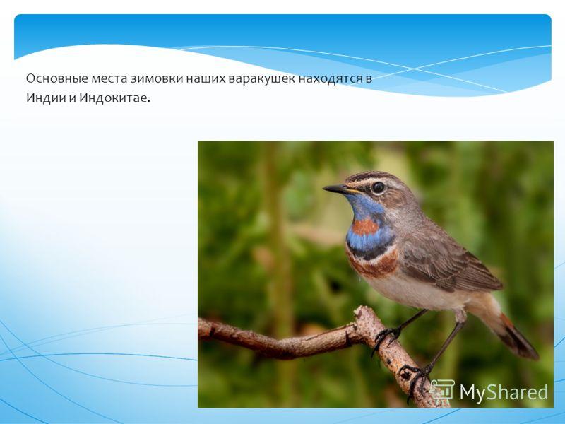 Молодые птицы темные с продольными светлыми пестринами и рыжим надхвостьем
