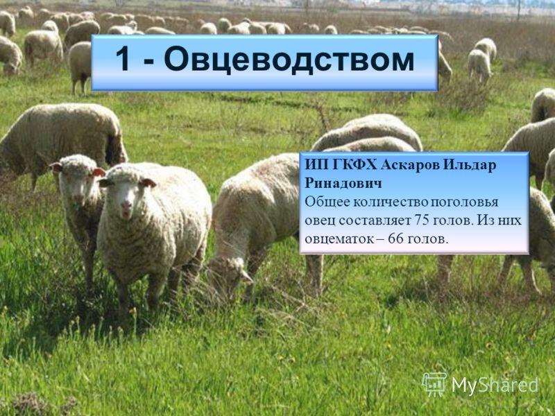 1 - Овцеводством ИП ГКФХ Аскаров Ильдар Ринадович Общее количество поголовья овец составляет 75 голов. Из них овцематок – 66 голов.