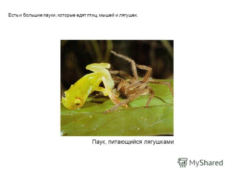 Паук, питающийся лягушками Есть и большие пауки, которые едят птиц, мышей и лягушек. Паук, питающийся лягушками есть и большие пауки, которые едят птиц, мышей и лягушек.