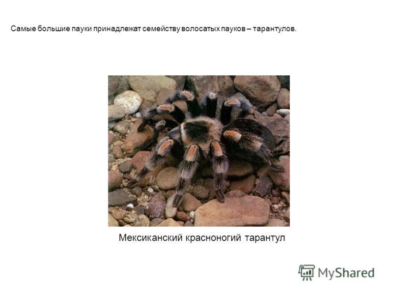 Мексиканский красноногий тарантул Самые большие пауки принадлежат семейству волосатых пауков – тарантулов. Мексиканский красноногий тарантул самые большие пауки принадлежат семейству волосатых пауков – тарантулов.