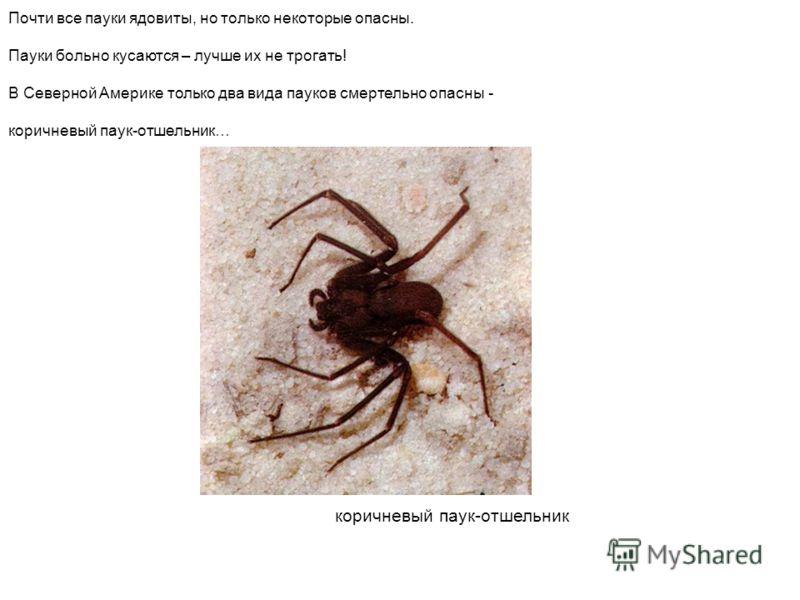 коричневый паук-отшельник Почти все пауки ядовиты, но только некоторые опасны. Пауки больно кусаются – лучше их не трогать! В Северной Америке только два вида пауков смертельно опасны - коричневый паук-отшельник… Коричневый паук-отшельник почти все п