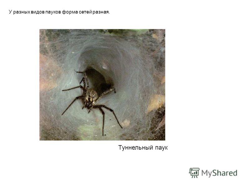 Туннельный паук У разных видов пауков форма сетей разная. Туннельный паук у разных видов пауков форма сетей разная.