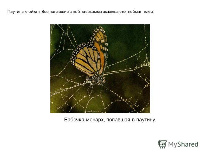 Бабочка-монарх, попавшая в паутину. Паутина клейкая. Все попавшие в неё насекомые оказываются пойманными. Бабочка-монарх, попавшая в паутину. Паутина клейкая. Все попавшие в неё насекомые оказываются пойманными.