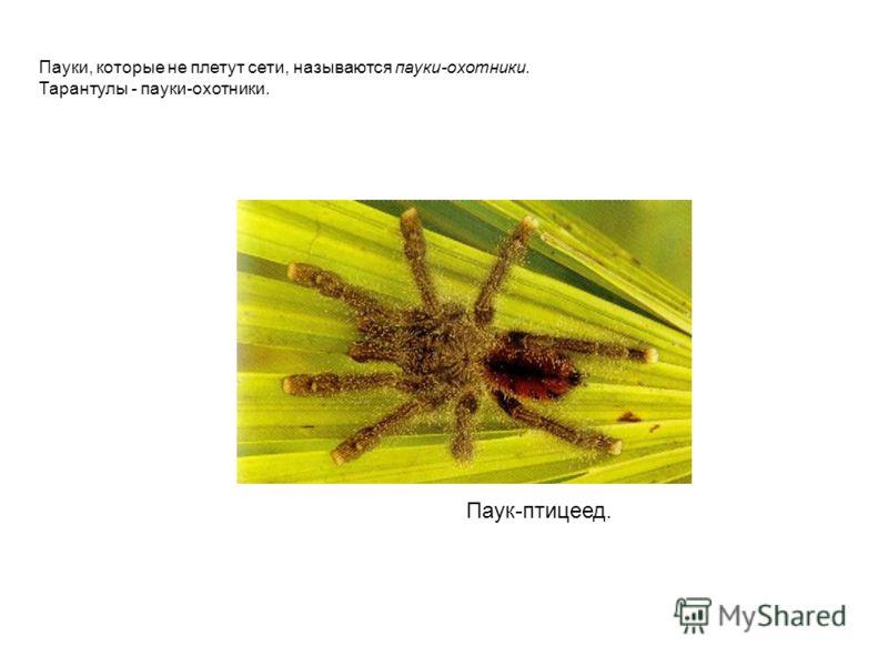 Паук-птицеед. Пауки, которые не плетут сети, называются пауки-охотники. Тарантулы - пауки-охотники. Паук-птицеед. Пауки, которые не плетут сети, называются пауки- охотники. Тарантулы - пауки-охотники.