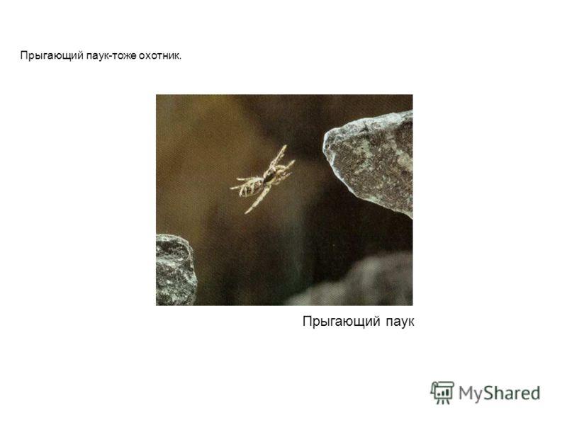Прыгающий паук Прыгающий паук-тоже охотник. Прыгающий паук прыгающий паук-тоже охотник.