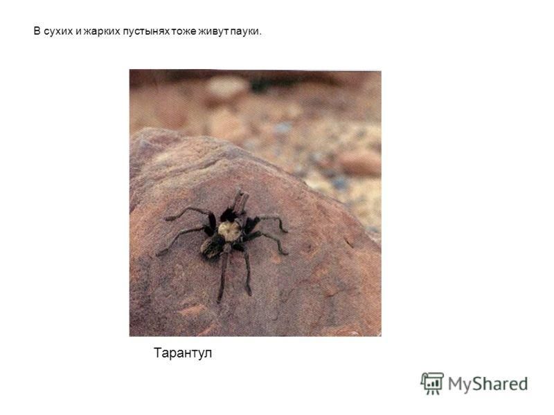 Тарантул В сухих и жарких пустынях тоже живут пауки. Тарантул в сухих и жарких пустынях тоже живут пауки.