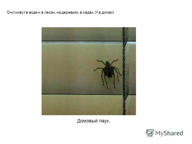 Домовый паук. Они живут в воде и в лесах, на деревьях, в садах. И в домах! Домовый паук. Они живут в воде и в лесах, на деревьях, в садах. И в домах!