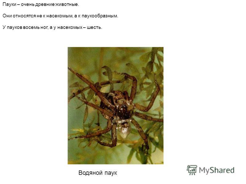 Водяной паук Пауки – очень древние животные. Они относятся не к насекомым, а к паукообразным. У пауков восемь ног, а у насекомых – шесть. Водяной паук пауки – очень древние животные. Они относятся не к насекомым, а к паукообразным. У пауков восемь но