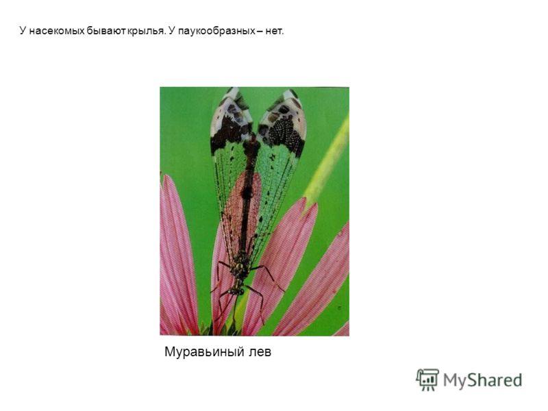Муравьиный лев У насекомых бывают крылья. У паукообразных – нет. Муравьиный лев у насекомых бывают крылья. У паукообразных – нет.