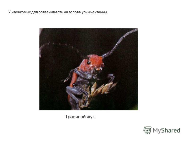 Травяной жук. У насекомых для осязания есть на голове усики-антенны. Травяной жук. У насекомых для осязания есть на голове усики-антенны.