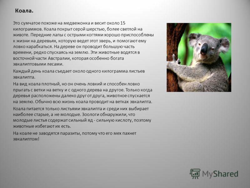 Утконос. Утконос - совершенно особенное низшее млекопитающее. У него большой лопаткообразный клюв, что придает ему сходство с птицей. Хотя утконос относится к млекопитающим, его самка откладывает яйца, обычно их два, в мягкой пленочной скорлупе, кото
