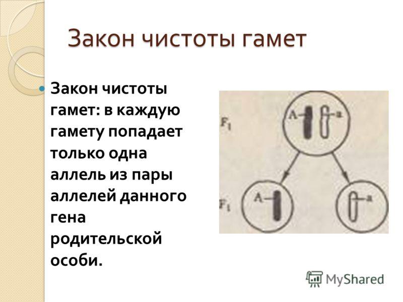 Закон чистоты гамет Закон чистоты гамет : в каждую гамету попадает только одна аллель из пары аллелей данного гена родительской особи.
