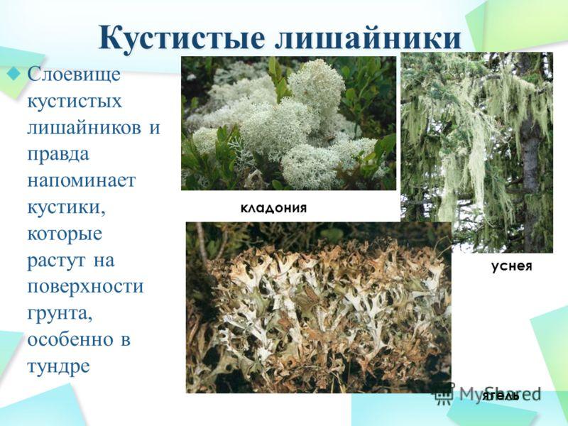 Слоевище кустистых лишайников и правда напоминает кустики, которые растут на поверхности грунта, особенно в тундре уснея кладония ягель