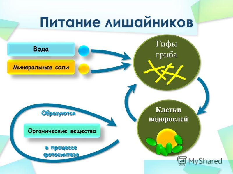Гифы гриба Минеральные соли Вода Клетки водорослей Органические вещества Образуются в процессе фотосинтеза