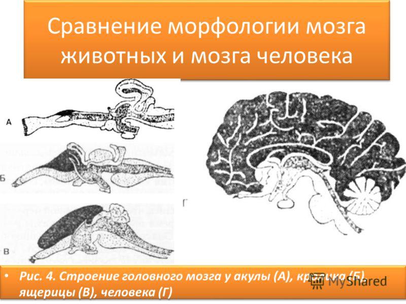 Сравнение морфологии мозга животных и мозга человека Рис. 4. Строение головного мозга у акулы (А), кролика (Б), ящерицы (В), человека (Г)