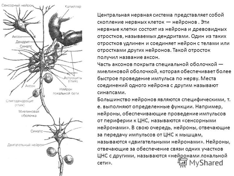 Рис. 4.4. Общее строение нейрона Центральная нервная система представляет собой скопление нервных клеток нейронов. Эти нервные клетки состоят из нейрона и древовидных отростков, называемых дендритами. Один из таких отростков удлинен и соединяет нейро