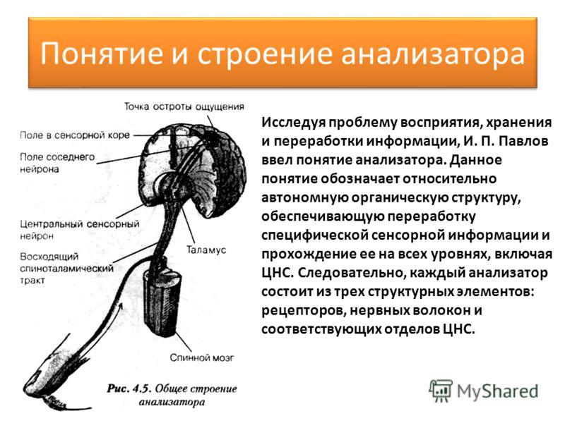 Понятие и строение анализатора Исследуя проблему восприятия, хранения и переработки информации, И. П. Павлов ввел понятие анализатора. Данное понятие обозначает относительно автономную органическую структуру, обеспечивающую переработку специфичес