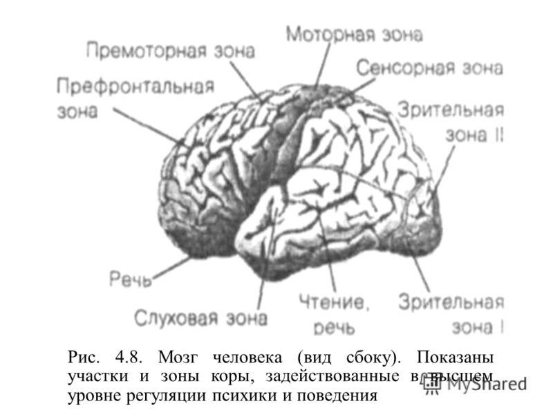 Рис. 4.8. Мозг человека (вид сбоку). Показаны участки и зоны коры, задействованные в высшем уровне регуляции психики и поведения