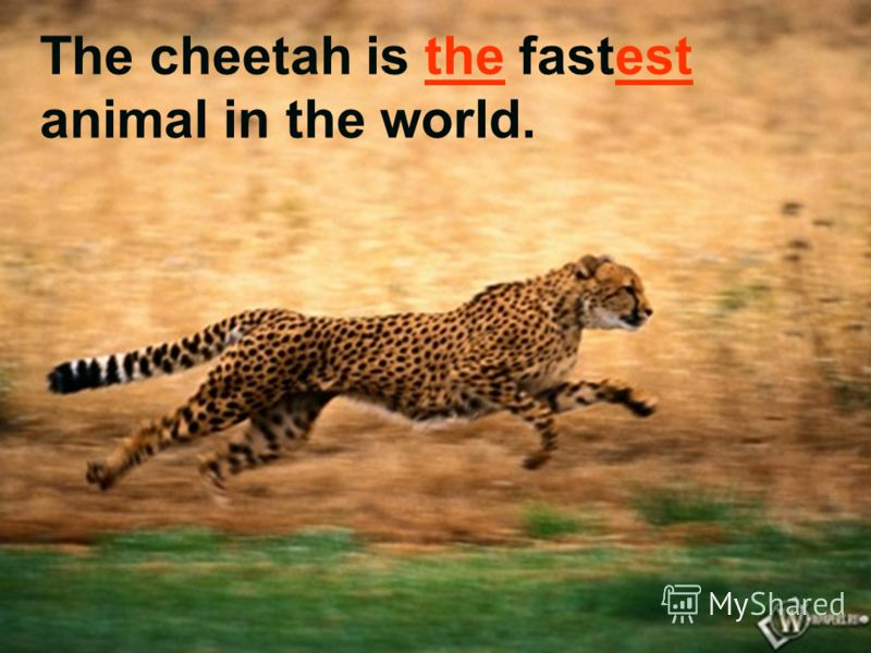 The cheetah is the fastest animal in the world.