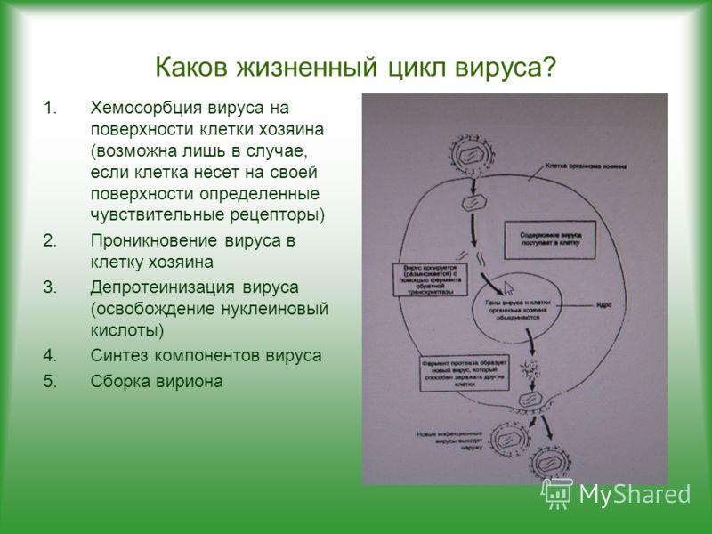 Каков жизненный цикл вируса? 1.Хемосорбция вируса на поверхности клетки хозяина (возможна лишь в случае, если клетка несет на своей поверхности определенные чувствительные рецепторы) 2.Проникновение вируса в клетку хозяина 3.Депротеинизация вируса (о
