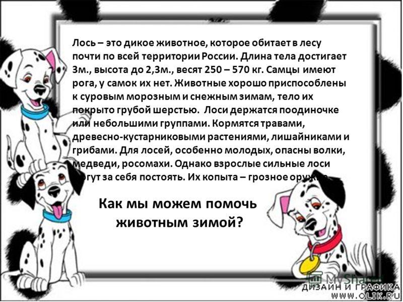 Лось – это дикое животное, которое обитает в лесу почти по всей территории России. Длина тела достигает 3м., высота до 2,3м., весят 250 – 570 кг. Самцы имеют рога, у самок их нет. Животные хорошо приспособлены к суровым морозным и снежным зимам, тело