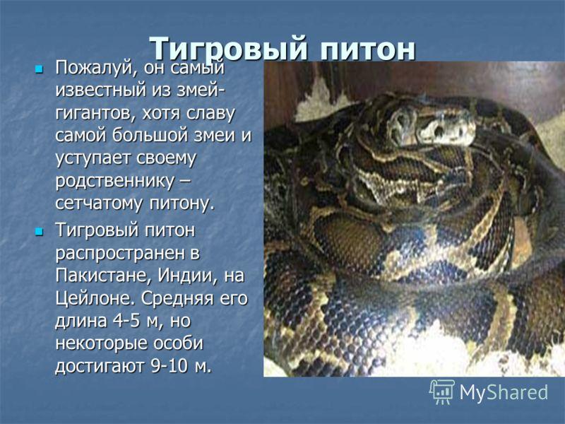 Тигровый питон Пожалуй, он самый известный из змей- гигантов, хотя славу самой большой змеи и уступает своему родственнику – сетчатому питону. Пожалуй, он самый известный из змей- гигантов, хотя славу самой большой змеи и уступает своему родственнику