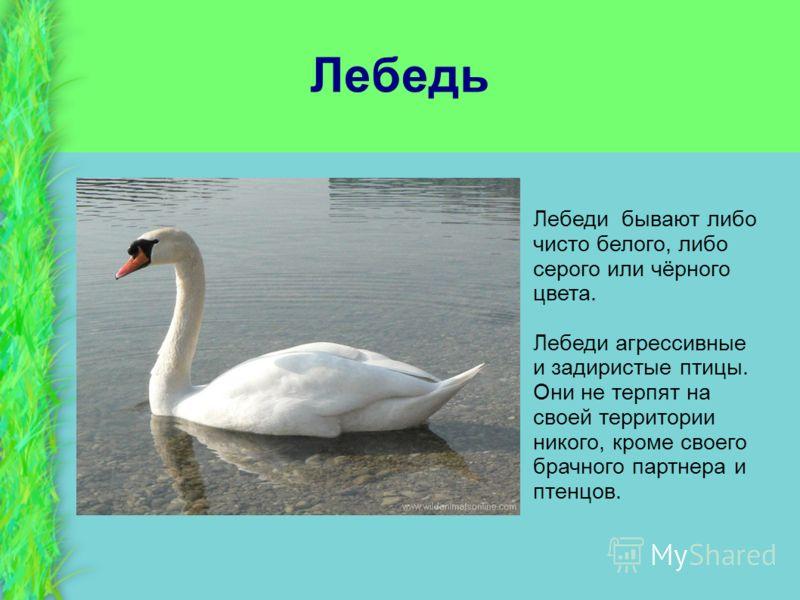 Лебедь Лебеди бывают либо чисто белого, либо серого или чёрного цвета. Лебеди агрессивные и задиристые птицы. Они не терпят на своей территории никого, кроме своего брачного партнера и птенцов.