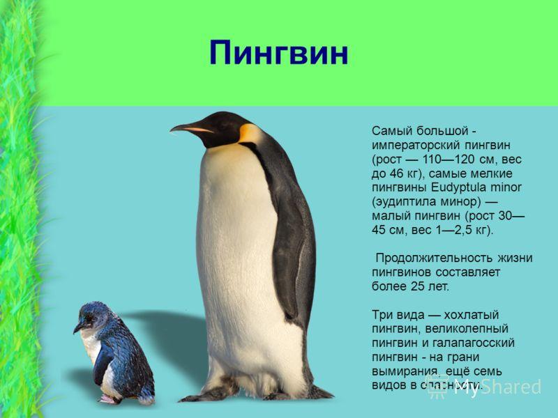 Пингвин Самый большой - императорский пингвин (рост 110120 см, вес до 46 кг), самые мелкие пингвины Eudyptula minor (эудиптила минор) малый пингвин (рост 30 45 см, вес 12,5 кг). Продолжительность жизни пингвинов составляет более 25 лет. Три вида хохл