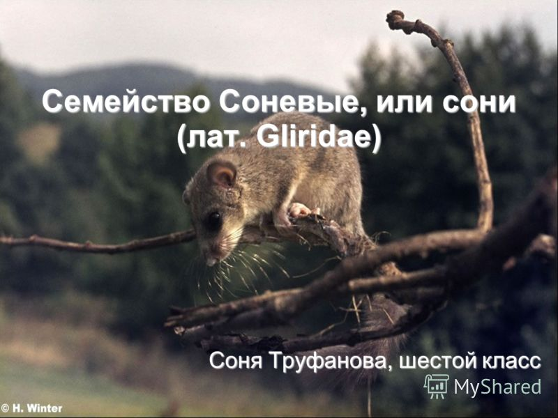 Семейство Соневые, или сони (лат. Gliridae) Соня Труфанова, шестой класс