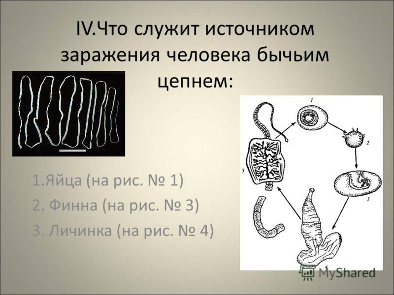 IV.Что служит источником заражения человека бычьим цепнем: 1.Яйца (на рис. 1) 2. Финна (на рис. 3) 3. Личинка (на рис. 4)