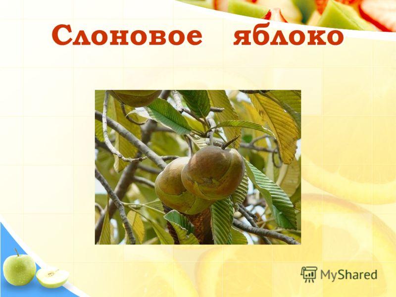 Слоновое яблоко