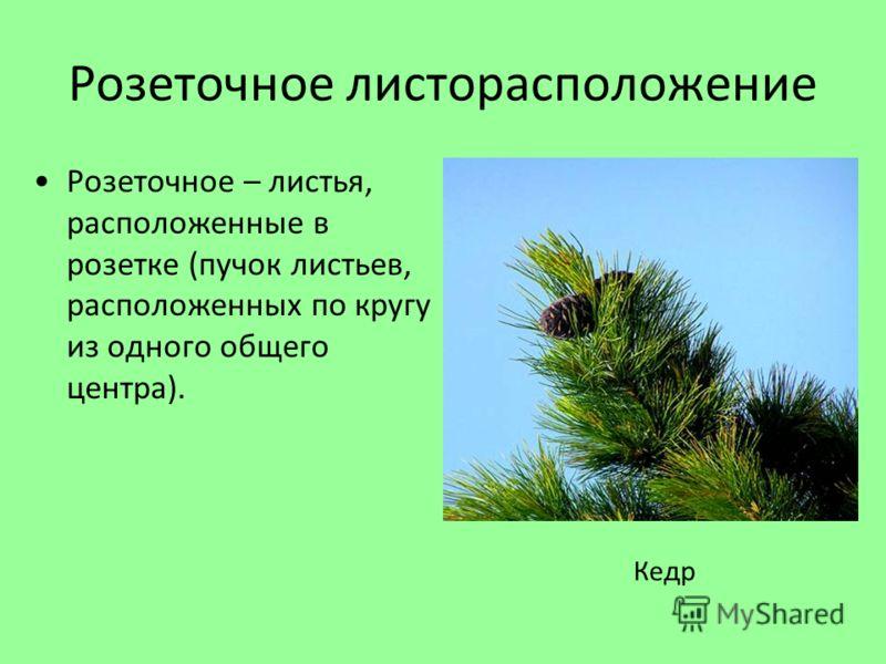 Розеточное листорасположение Розеточное – листья, расположенные в розетке (пучок листьев, расположенных по кругу из одного общего центра). Кедр