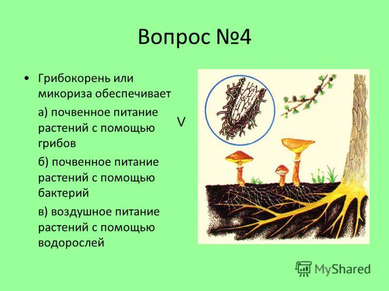 Вопрос 4 Грибокорень или микориза обеспечивает а) почвенное питание растений с помощью грибов б) почвенное питание растений с помощью бактерий в) воздушное питание растений с помощью водорослей V