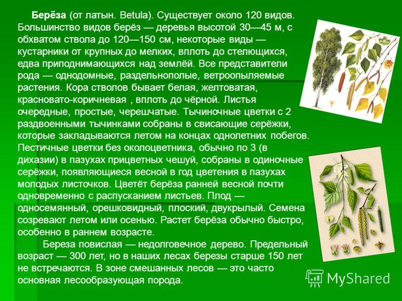 Берёза (от латын. Betula). Существует около 120 видов. Большинство видов берёз деревья высотой 3045 м, с обхватом ствола до 120150 см, некоторые виды кустарники от крупных до мелких, вплоть до стелющихся, едва приподнимающихся над землёй. Все предста