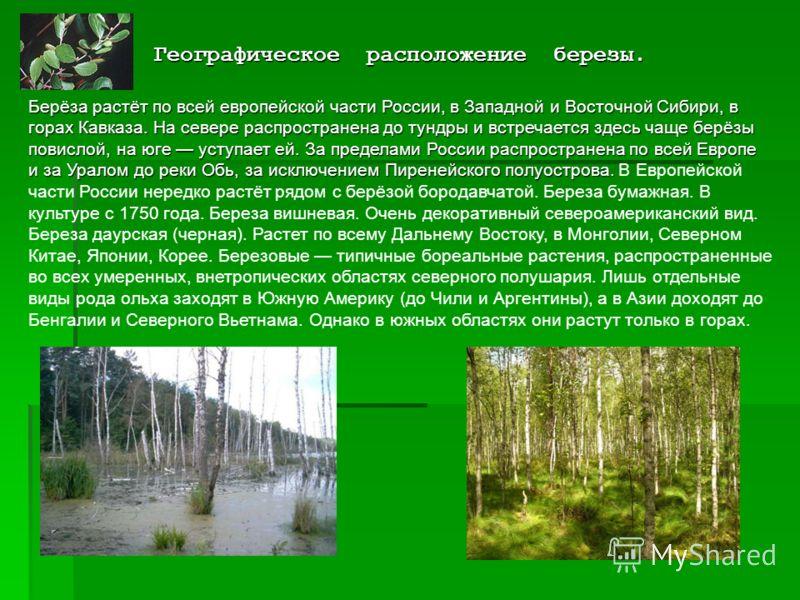 Географическое расположение березы. Берёза растёт по всей европейской части России, в Западной и Восточной Сибири, в горах Кавказа. На севере распространена до тундры и встречается здесь чаще берёзы повислой, на юге уступает ей. За пределами России р