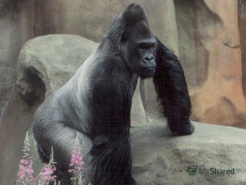 Устный счёт Назовите самую большую обезьяну Орангутанг: 5+9-8+7-8+9-4= Горилла: 3+9-6+5-4+7-5= 10 9 9