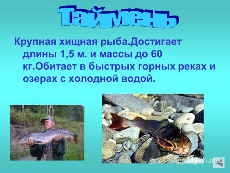 Крупная хищная рыба.Достигает длины 1,5 м. и массы до 60 кг.Обитает в быстрых горных реках и озерах с холодной водой.