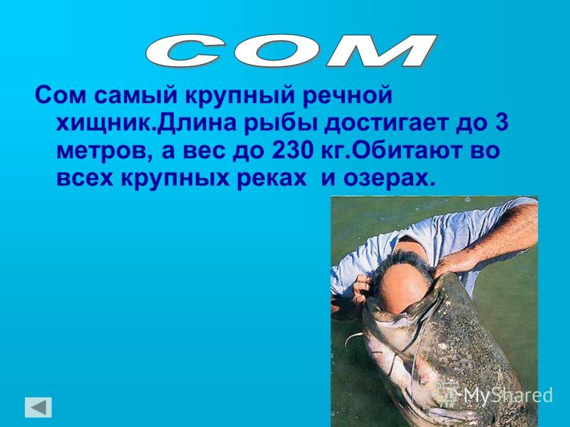 Сом самый крупный речной хищник.Длина рыбы достигает до 3 метров, а вес до 230 кг.Обитают во всех крупных реках и озерах.