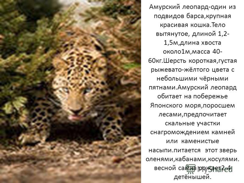 Амурский леопард-один из подвидов барса,крупная красивая кошка.Тело вытянутое, длиной 1,2- 1,5м,длина хвоста около1м,масса 40- 60кг.Шерсть короткая,густая рыжевато-жёлтого цвета с небольшими чёрными пятнами.Амурский леопард обитает на побережье Японс