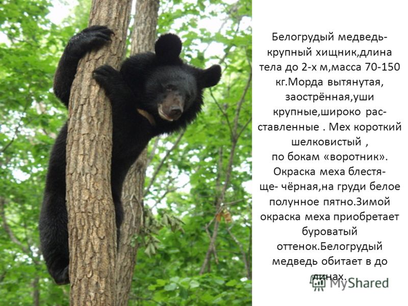 Белогрудый медведь- крупный хищник,длина тела до 2-х м,масса 70-150 кг.Морда вытянутая, заострённая,уши крупные,широко рас- ставленные. Мех короткий шелковистый, по бокам «воротник». Окраска меха блестя- ще- чёрная,на груди белое полунное пятно.Зимой