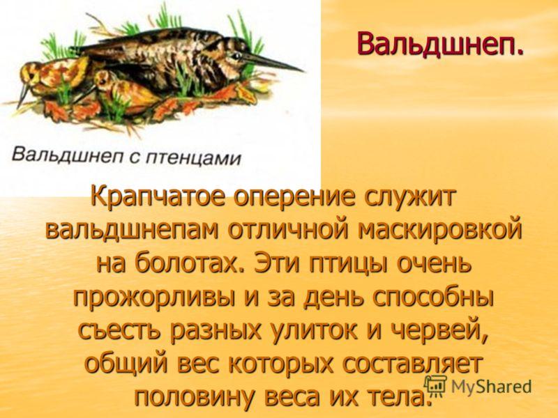 Вальдшнеп. Крапчатое оперение служит вальдшнепам отличной маскировкой на болотах. Эти птицы очень прожорливы и за день способны съесть разных улиток и червей, общий вес которых составляет половину веса их тела.