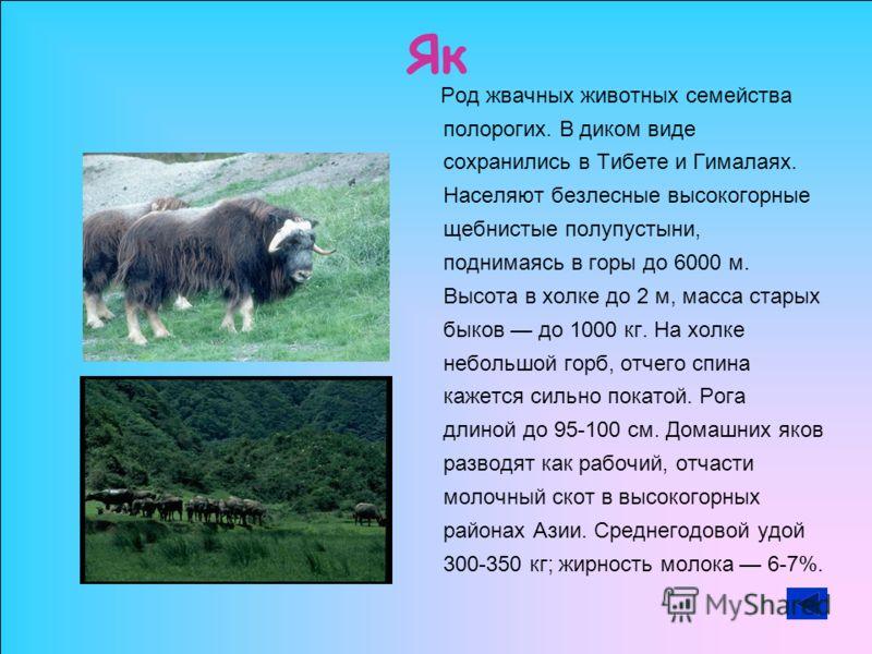 Як Род жвачных животных семейства полорогих. В диком виде сохранились в Тибете и Гималаях. Населяют безлесные высокогорные щебнистые полупустыни, поднимаясь в горы до 6000 м. Высота в холке до 2 м, масса старых быков до 1000 кг. На холке небольшой го